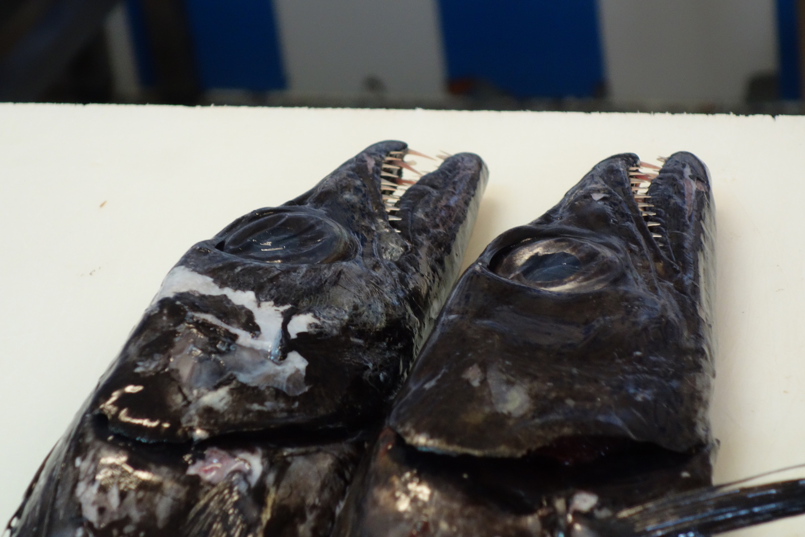schwarzer Degenfisch